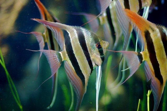 Several Angelfish in an acrylic aquarium