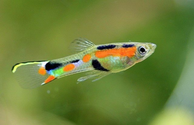 Practical help for smart aquarium keepers fish tank advisor for Endler guppy
