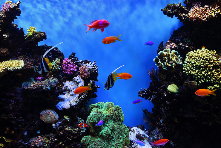 tropical fish in a reef tank