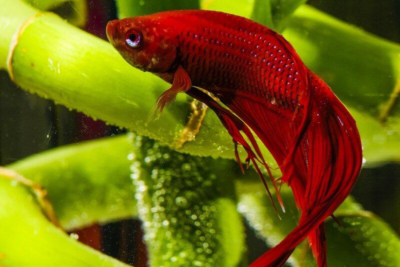 A betta fish into a low maintenance aquarium