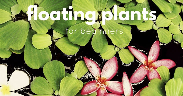 Best Low Maintenance Floating Plants for Beginners - Fish ...