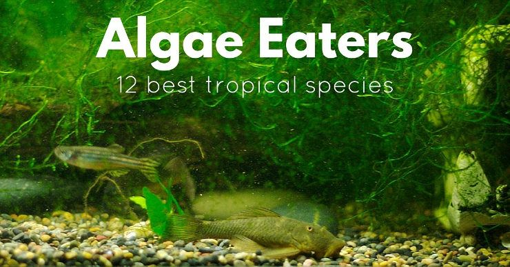 12 best tropical algae eaters that will truly clean your for Black algae in fish tank