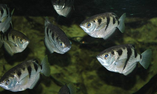Several banded archer fish in a brackish tank