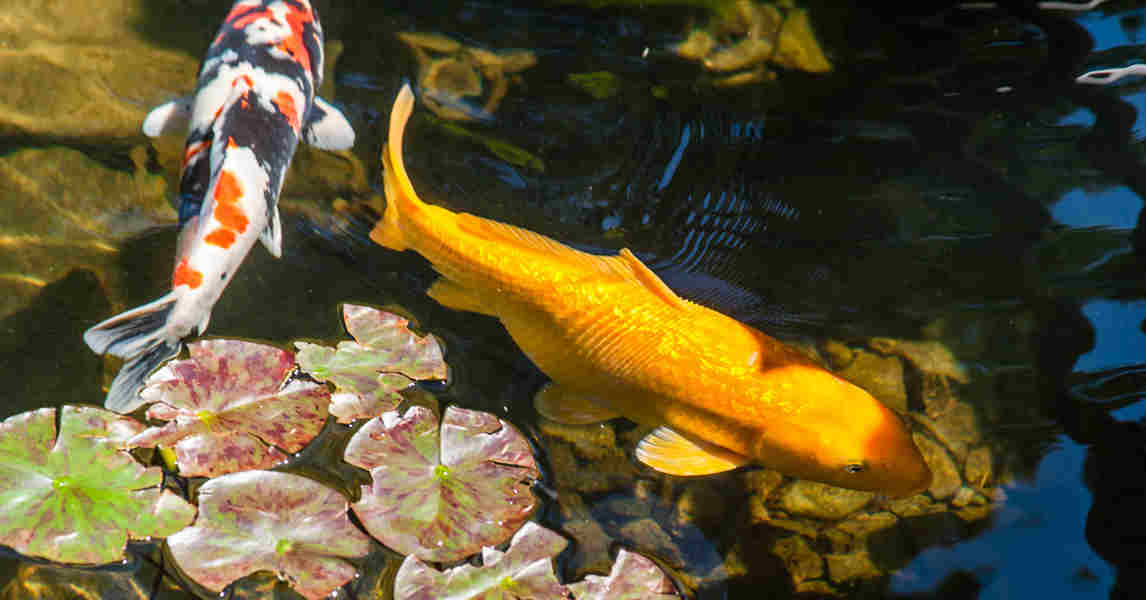 Best easiest fish varieties to stock a backyard pond for Best fish for small pond
